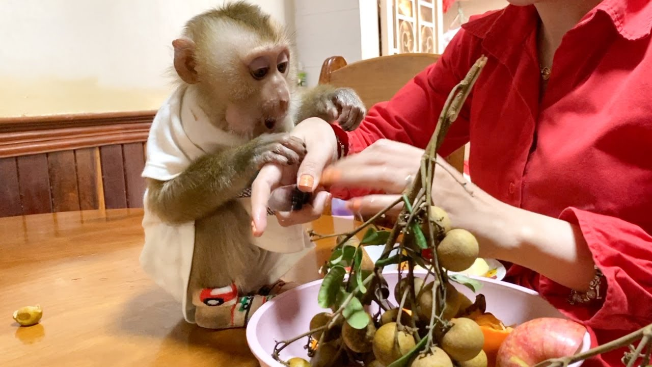 Baby Monkey DouDou Eat Fruits With Mom Very Delicious