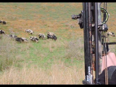 Bowhunting Pigs AMAZING Shots HEADSHOT Impact Shots HEARTSHOT