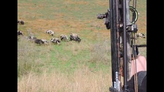 Bowhunting Pigs AMAZING shots HEADSHOT Impact shots HEARTSHOT