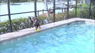 German Shorthair Pointer Swimming
