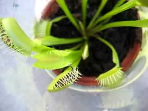 how to keep venus fly traps alive without flies