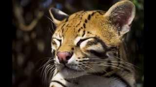 Маленький тигр - ОЦЕЛОТ / Little Tiger - OCELOT