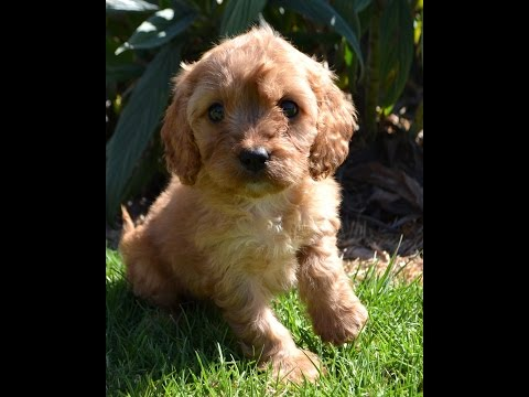 Adorable Cavoodle Puppies March 17