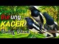 Suara Pikat Kacer Paling Dicari Suara Burung Kacer Ribut Tarung  Mp3 - Mp4 Download