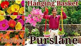 Gharme Purslane 10-0-clock ka Hanging Baskets banaye ( Hindi / Urdu )