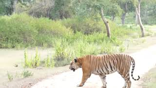Bandipur Prince - The Tiger
