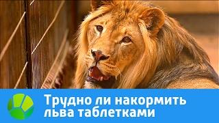 Трудно ли накормить льва таблетками | Живая Планета