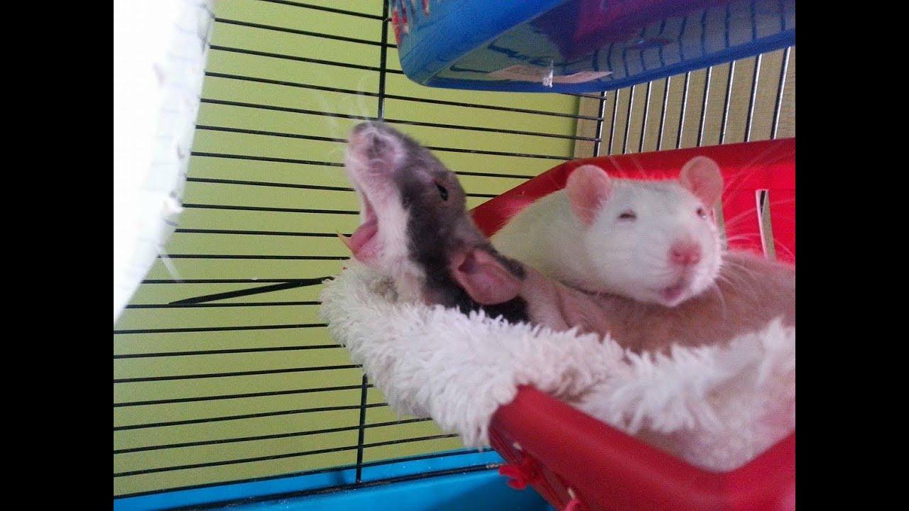 Fancy rats as pets - photo#53
