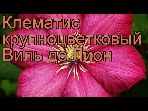 Клематис крупноцветковый Виль де Лион 🌿 обзор: как сажать, рассада клематиса Виль де Лион