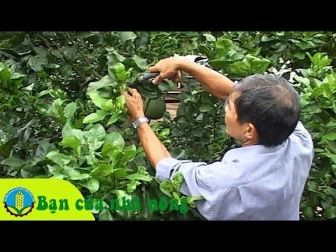 Kinh nghiệm, kỹ thuật chăm sóc cây bưởi sau khi thu hoạch