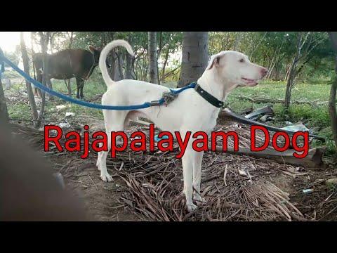 Rajapalayam Dog Hunting Speed !! #2
