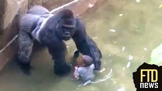 Gorilla Drags Child That Fell Into Enclosure at  Cincinnati Zoo(Harambe, the gorilla that dragged a 4 year old boy around, seemed to be protecting him when he fell into the gorilla enclosure at Cincinnati Zoo., 2016-05-30T21:14:33.000Z)