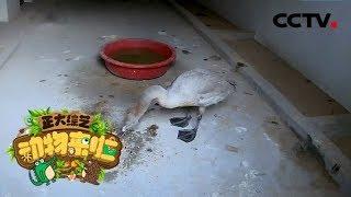 [正大综艺·动物来啦]食物中毒的小天鹅苏醒后吃什么有利于恢复| CCTV