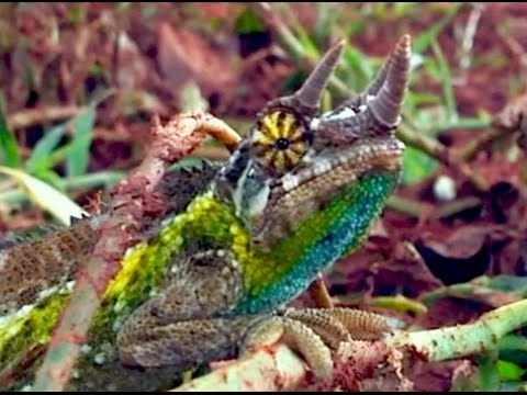 Jackson S Three Horned Chameleon In The Wild Hd Youtube