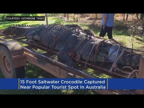 15 Foot 1,300 Pound Crocodile Caught In Australia