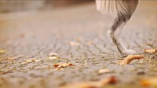 Самая умная собака породы Бордер Колли-Зои