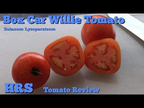 ⟹ Box Car Willie Tomato, Solanum lycopersicum Tomato Review
