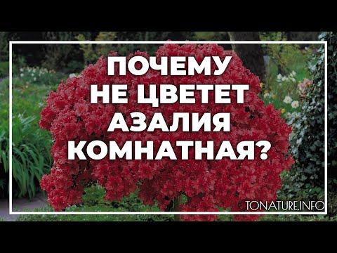 Почему не цветет азалия комнатная? | toNature.Info