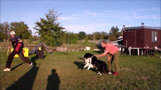 Protection border collie