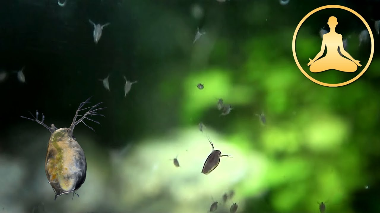 Water Fleas Daphnia In Slow Motion Youtube