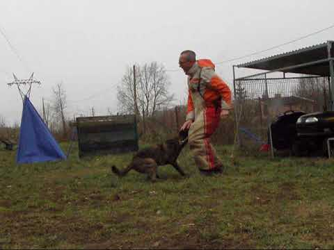 Owczarek Holenderski Tigra  Mondio Trening