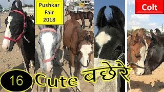 पुष्कर मेला Pushkar Fair Mela Indian Marwari Horse Market 2018 : Colt : Ghoda Bazar
