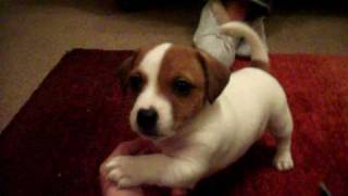 My jack russel called Archy