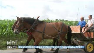 En Normandie, les chevaux prennent soin des falaises