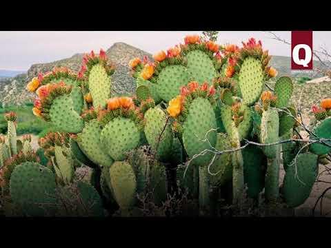 В Крыму растут съедобные кактусы