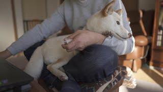 柴犬が抱っこをおねだりして甘えて安心する姿が最高すぎました!
