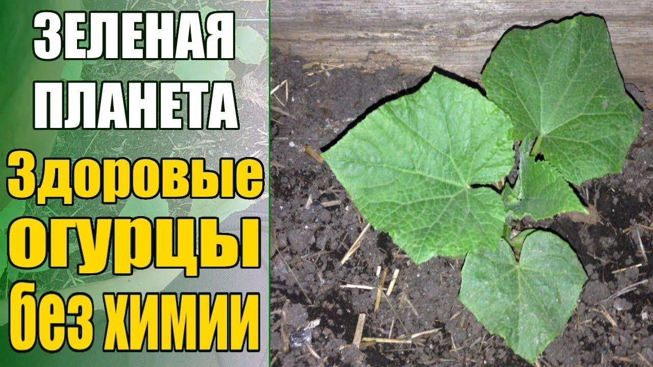 Спасаем огурцы от болезней и вредителей БЕЗ ХИМИИ!