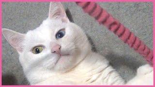 椅子の下に隠れて遊ぶ白猫ユキちゃんです。 お手々をチョイチョイ出して...