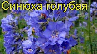видео Синюха (полемониум): виды с фото, выращивание, уход, размножение