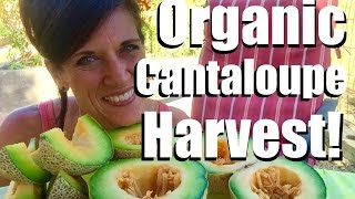 Organic Garden Cantaloupe Harvest  - This is Why We Do It!