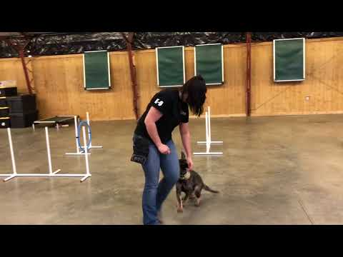 """Awesome German Shepherd Puppy """"Sloan"""" 12 Wks Super Obedience BAB Candidate"""