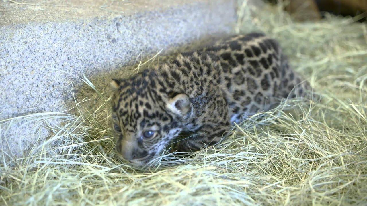 Wonderful San Diego Zoo Jaguar Cub To Make Public Debut