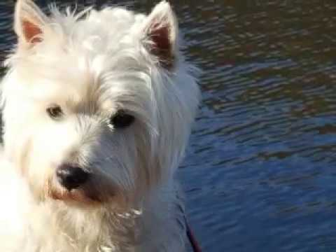 Fergus Macduff, West Highland White Terrier, goes to the Talyllyn Lake