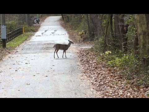 A Deer On Creek Road, At White Clay Creek State Park, Delaware -- Nov. 14, 2015
