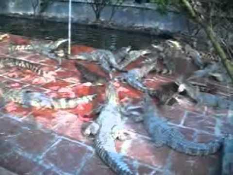 Trang trai nuôi cá sấu lớn nhất miền Bắc.flv