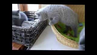 Британские голубые котята беспечно играют, как и все остальные котята.