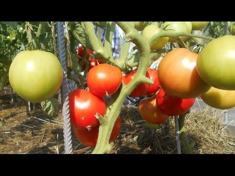 """Проверенный сорт томатов: """"Дар Заволжья"""""""