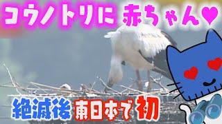 コウノトリに『赤ちゃん』!絶滅後、東日本では初めて【マスクにゃんニュース】