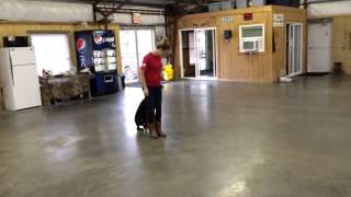 "Super Doberman ""rio"" Amazing Early Obedience & Protection Training"