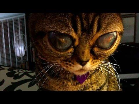 Кошка Ашера: история и фотографии кошек породы Ашера