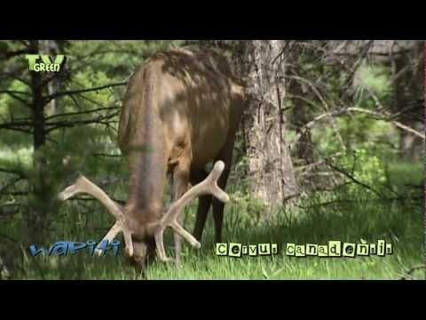 Wapiti in Yellowstone National Park - elk - cervus canadensis #05
