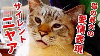 サイレントニャーを猫のデュフィが見せてくれました。 猫の最大の愛情表...
