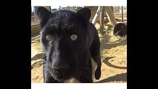 Black Leopard Love | African Big Cat Shows Affection Loves Grooming & Being Groomed
