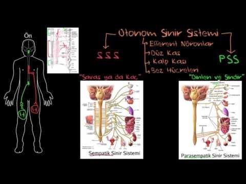 Otonom Sinir Sistemi (Sağlık ve Tıp) (Sinir Sistemi Fizyolojisi) (Psikoloji / Davranış)