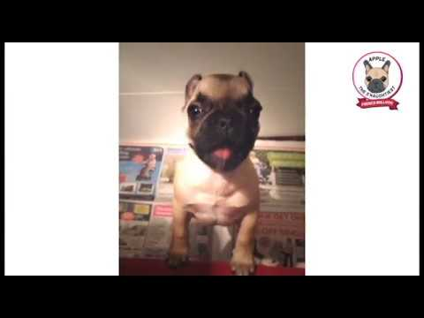 Funny French Bulldog Puppy Talking Cute Dog -  asking for more food and to get up on the sofa bed