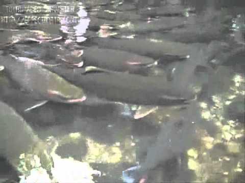 Clip suối cá thiêng ở Thanh Hóa